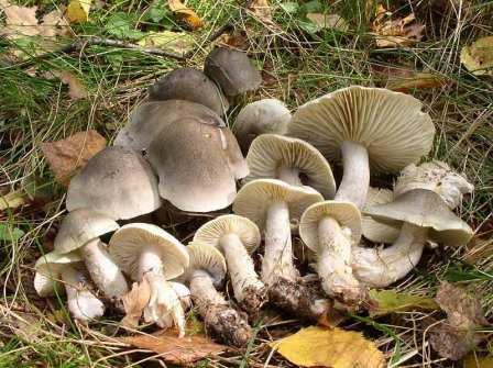 гриб рядовка серая фото и описание приготовление